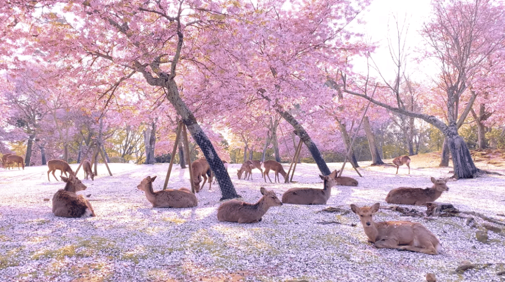 Deer Lounge Under Cherry Blossom Trees In Japan S Nara Park And It S Utterly Magical Secret Los Angeles In 2020 Japanese Park Blossom Trees Cherry Blossom