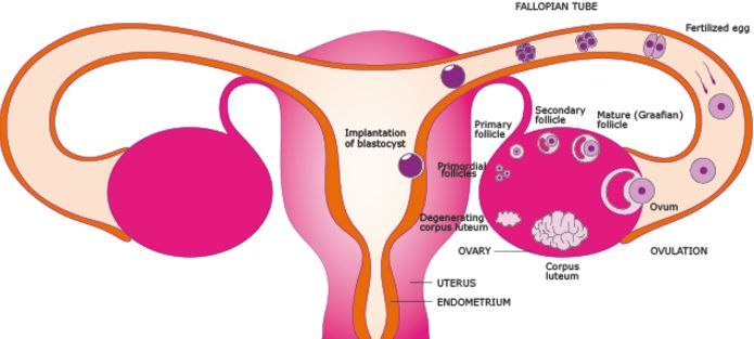 Is it normal to feel ovulation pain on both sides? What does