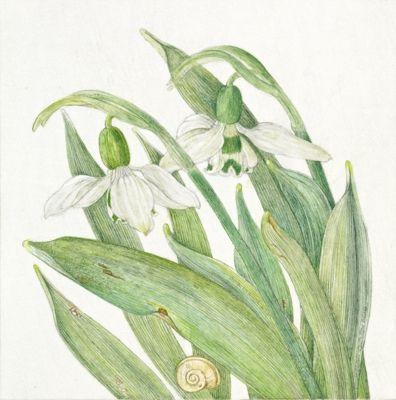Snowdrop Galanthus Elwesii подснежники Pinterest