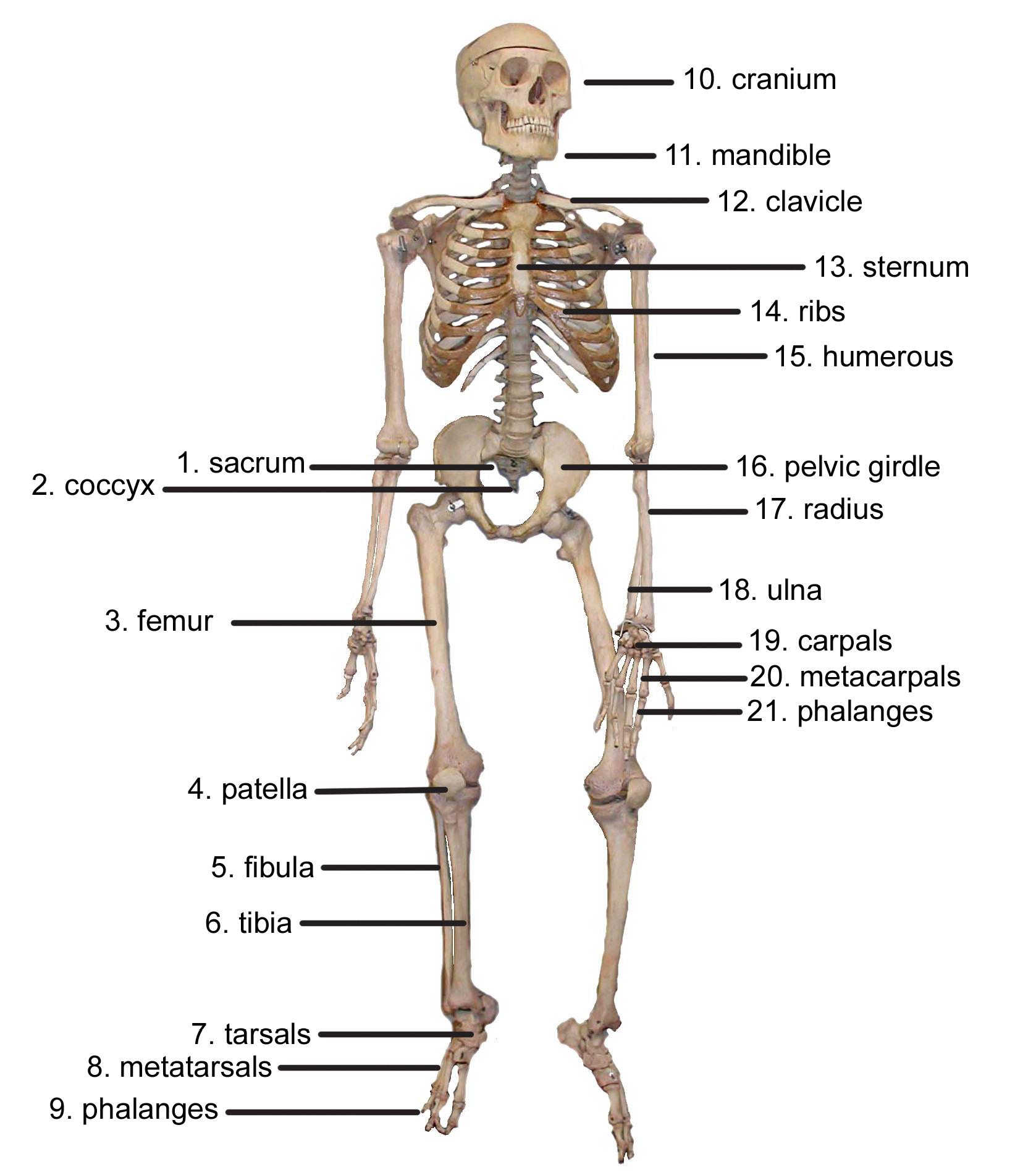 Skeleton Diagram Images | Human skeleton anatomy, Human ...