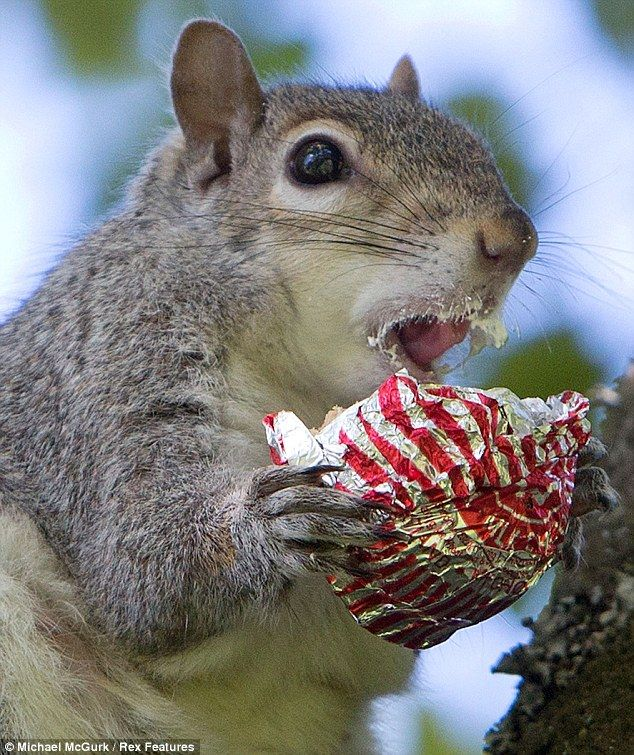 The greedy Grey! Squirrel pictured tucking into a stolen
