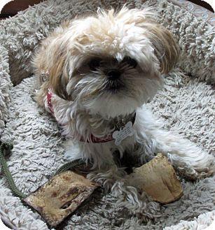 Eden Prairie Mn Shih Tzu Mix Meet Betty A Puppy For Adoption Http Www Adoptapet Com Pet 13024947 Eden Pr Shih Tzu Shih Tzu Mix