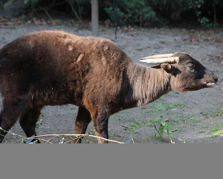 Mountain Anoa Facts, Diet, Habitat & Pictures on