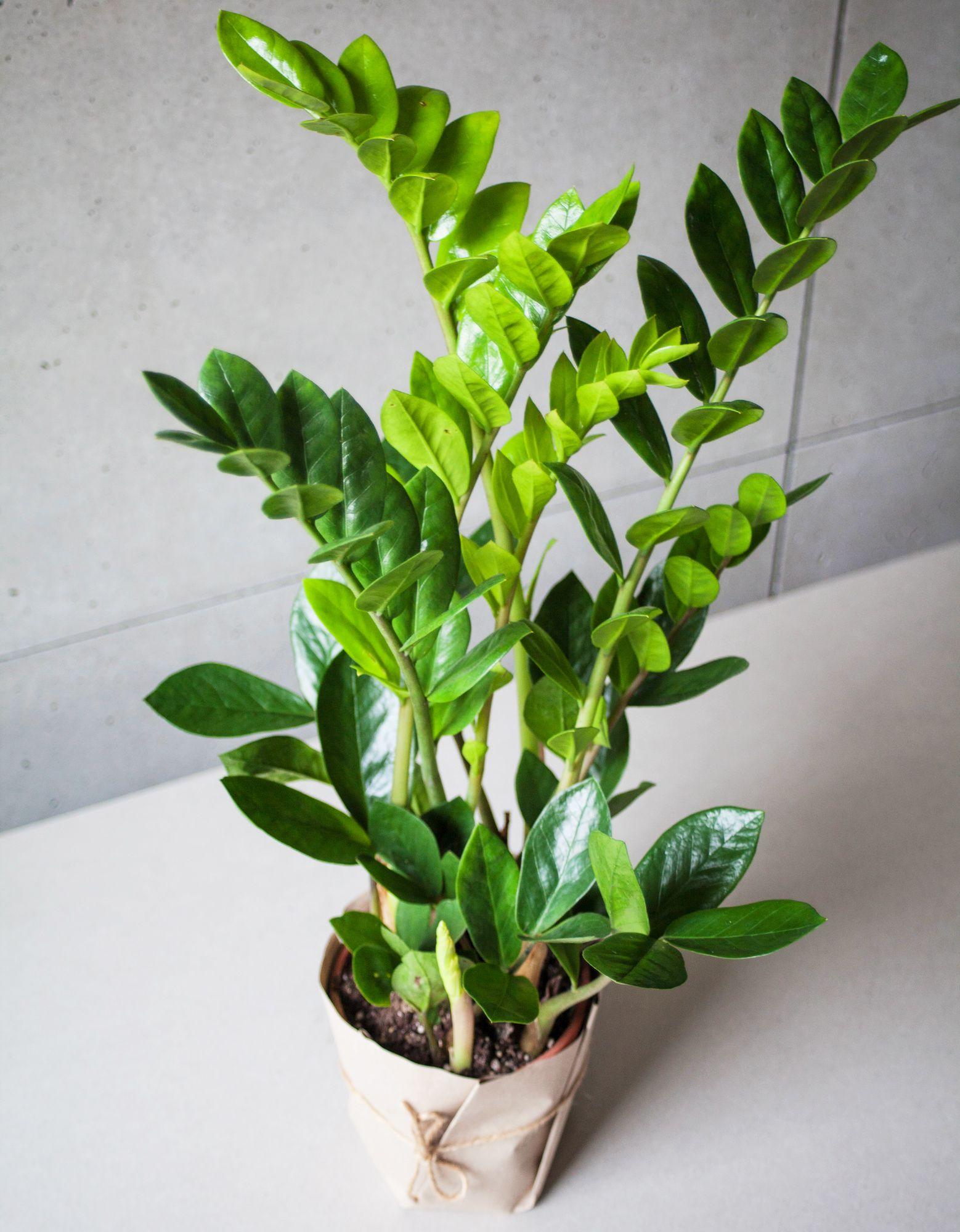 Zamiokulkas Zelazna Roslinka Container Gardening Flowers Plants Geraniums