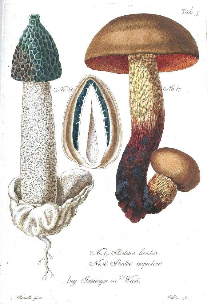 Botanical - Mushroom - Anatomical - color