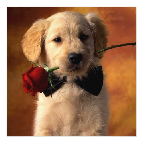 Golden Retriever Puppy Holding Red Rose Card Valentine Day Ideas