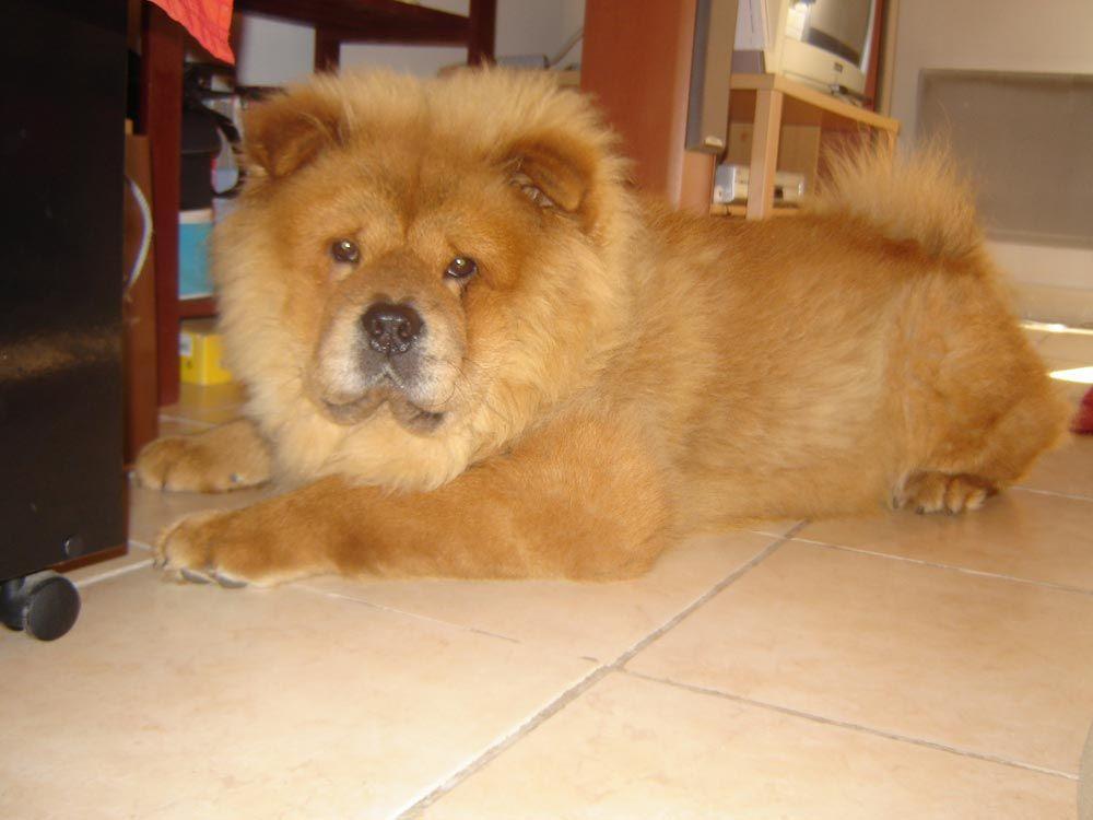 Parece Un Leon Pero Es Un Perro Chow Chow Cute Dogs Dogs