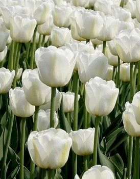 Triumph Tulips Tulips Autumn Planting Bulbs Plants And More