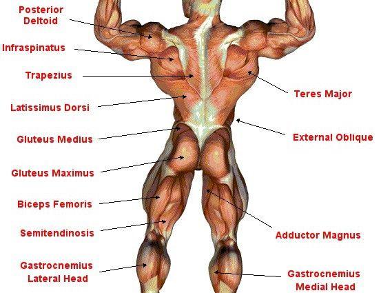 Back Muscles Anatomy Chart Rehab Pinterest Muscle Anatomy