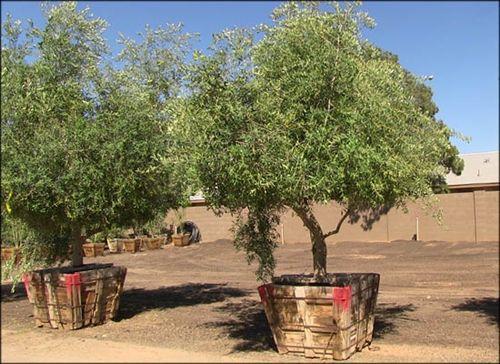 Fruitless Olive Tree Google Search Landscaping Ideas Pinterest Desert Trees Backyard