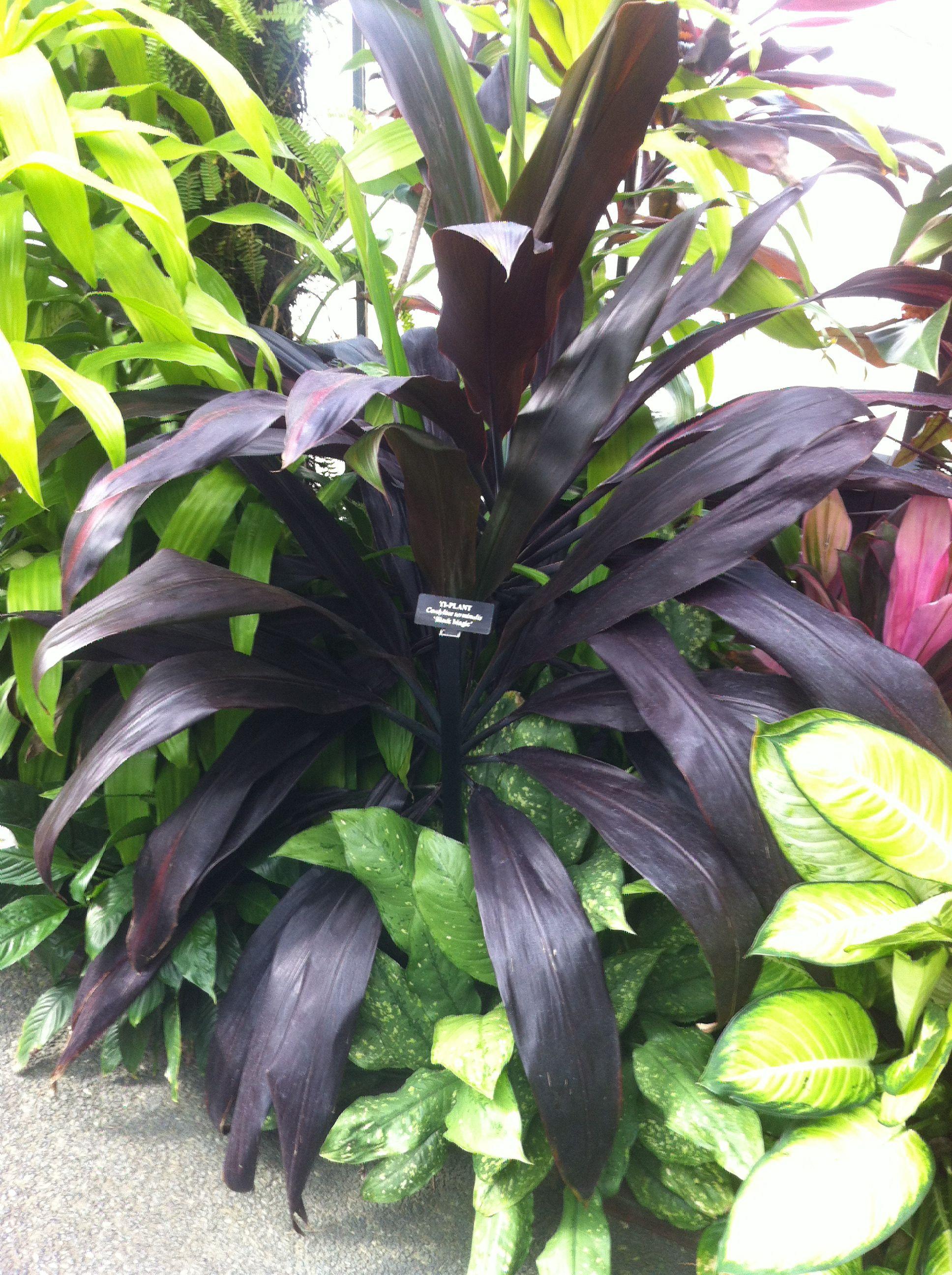 Best Kitchen Gallery: Cordyline Terminalis 'black Magic' Plants Cordylines Pinterest of Tropical House Plant Cordyline on rachelxblog.com