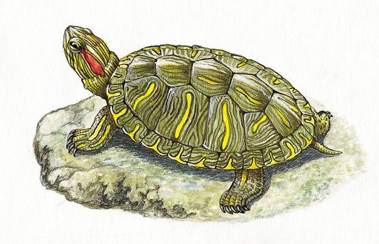 tortue eau douce turtles tortoises lizards pinterest tortue douce et eaux. Black Bedroom Furniture Sets. Home Design Ideas