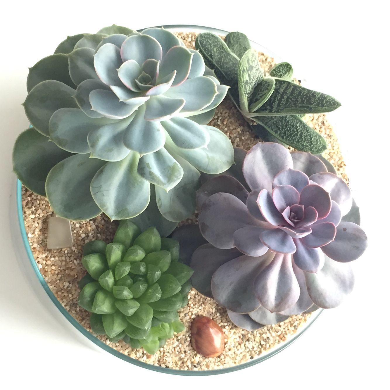 Pot#1 / Echeveria Perle von Nürnberg / Echeveria Glauca / Gasteria Little Warty / Haworthia cooperi