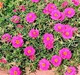 """portulaca, also known as moss roses. Grow well even when you abandon them. about 6"""" high I use them in flower boxes and at edge of garden with alyssum. Flowers close in evening. Succulent pine-needle like leaves but softer"""