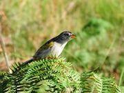 Fotos feitas em Rio Grande do Sul | Wiki Aves - A Enciclopédia das Aves do Brasil