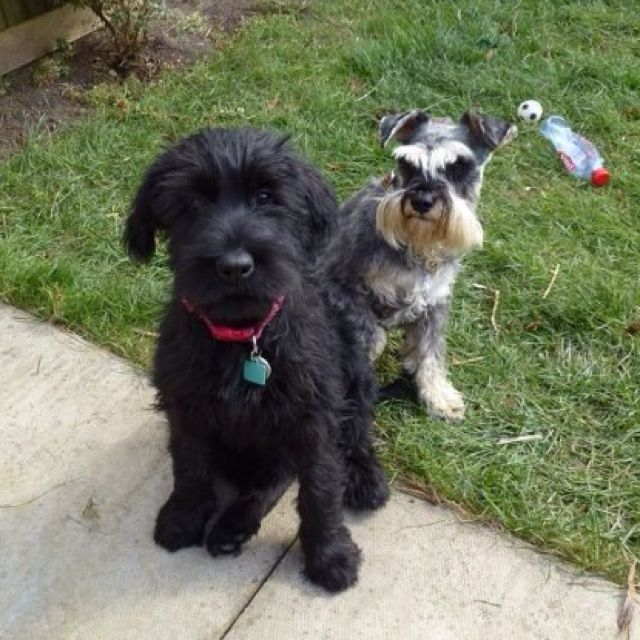 Full Grown Mini And Giant Schnauzer Puppy I Totally Want A Giant