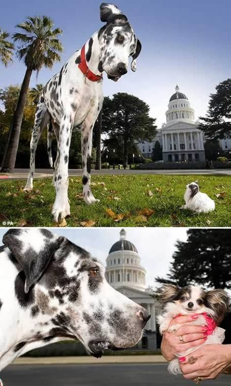 World S Tallest Dog Meeting The World S Shortest Dog World S