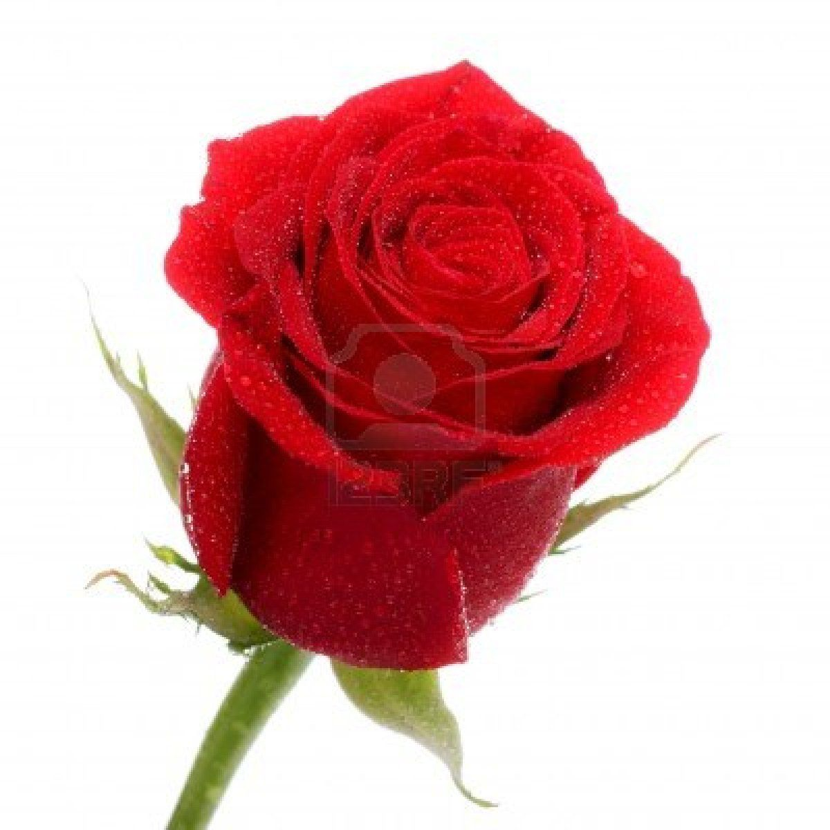 Red Rose Red Rose Wallpaper Rose Close Up Red Roses