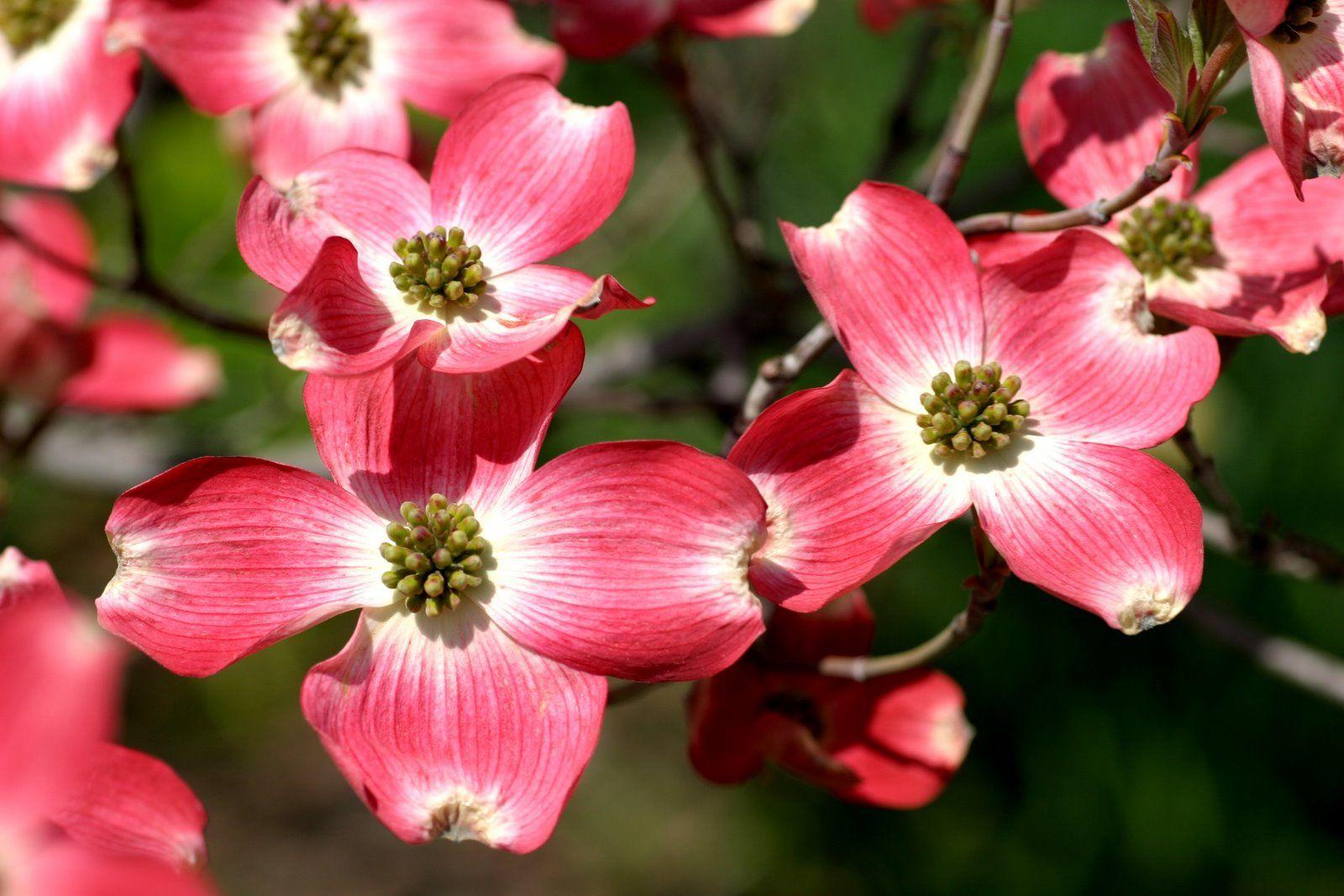 Flowering Dogwoods Missouris State Flower Pinterest Dogwood