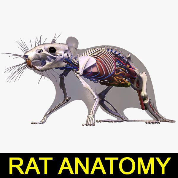 anatomy rat 3d model | Животные | Pinterest | Anatomía, Anatomía ...
