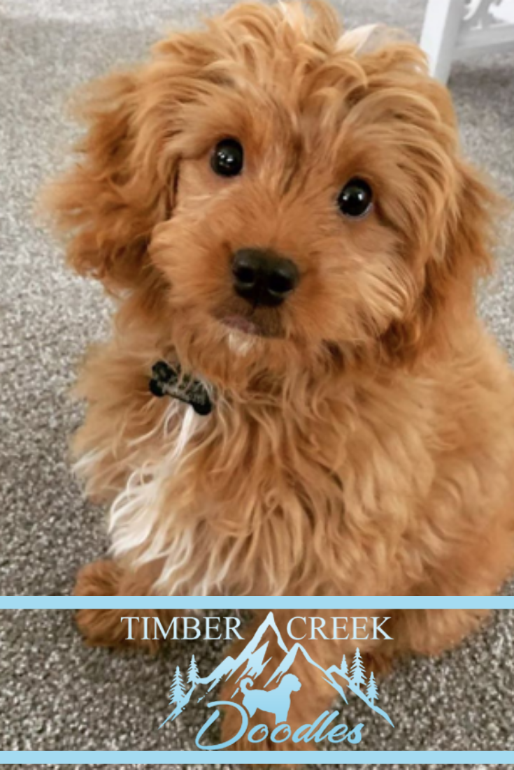 We specialize in Red Mini Goldendoodles and Teacup