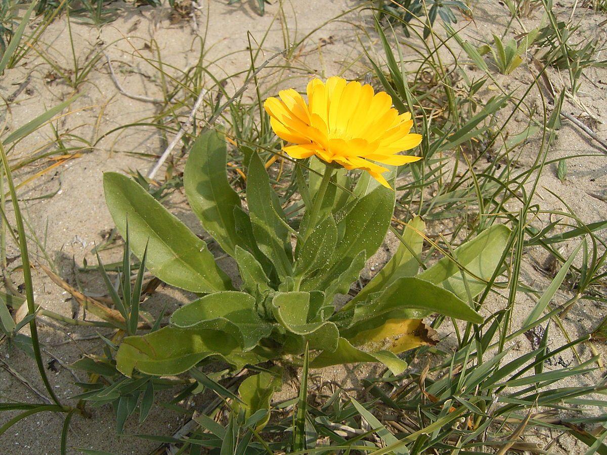 Calendula officinalis Wikipedia My Wildflowers