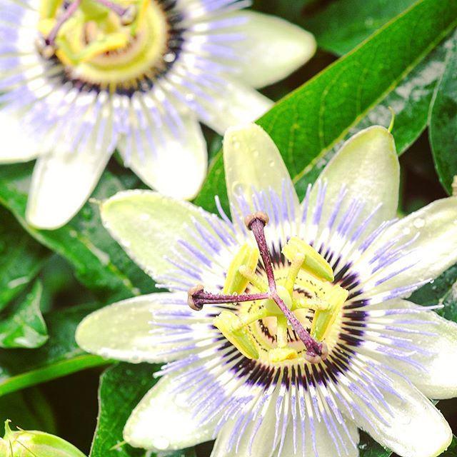 Passion Flower Power From Madeira Miten Niin Kurttuisella Passionhedelmalla Voi Olla Nain Kaunis Kukka Flowers Flower Luonto Flower Power Madeira Instagram
