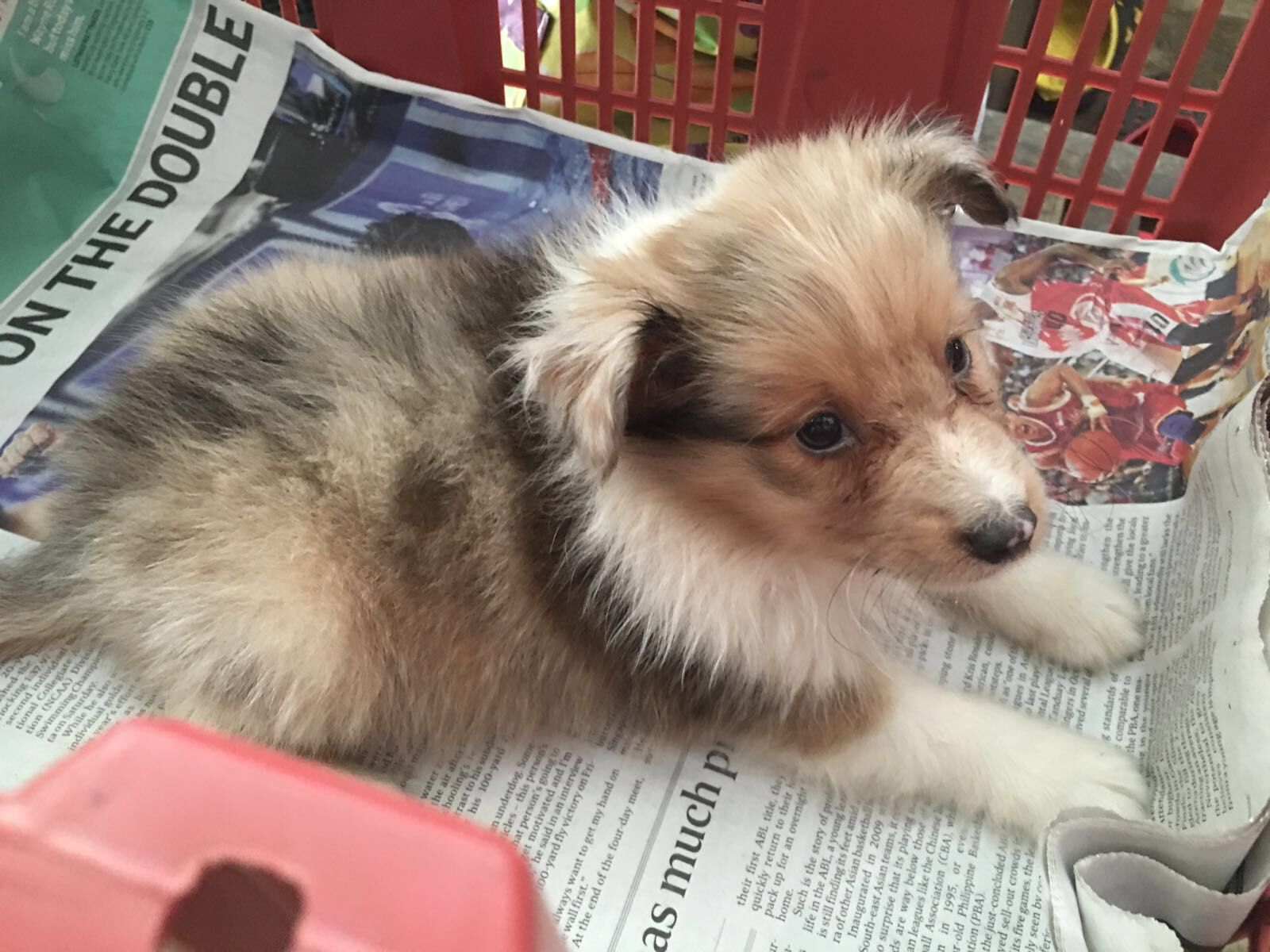 Sable Merle Sheltie Puppy Shetland Sheepdog Sheep Dog Puppy