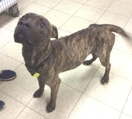 Petango Com Meet Nathan 75 A 2 Years Boxer Retriever Available For Adoption In Cleveland Oh Dog Adoption
