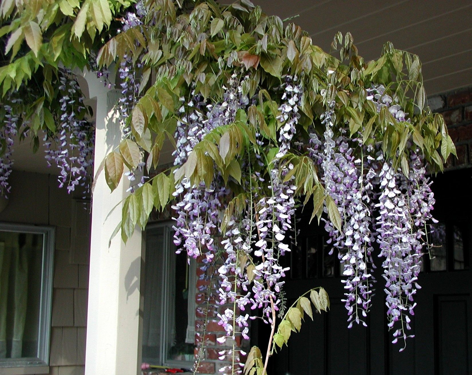 chinese wisteria growing in northern california flowering shrubs