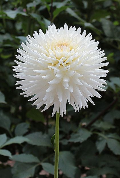 Dalia Color Blanco