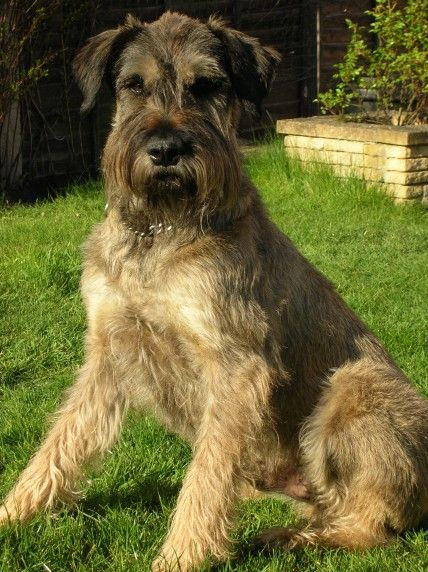 Giant Schnauzer That Is One Big Baby So Cute Giant Schnauzer Schnauzer The Perfect Dog