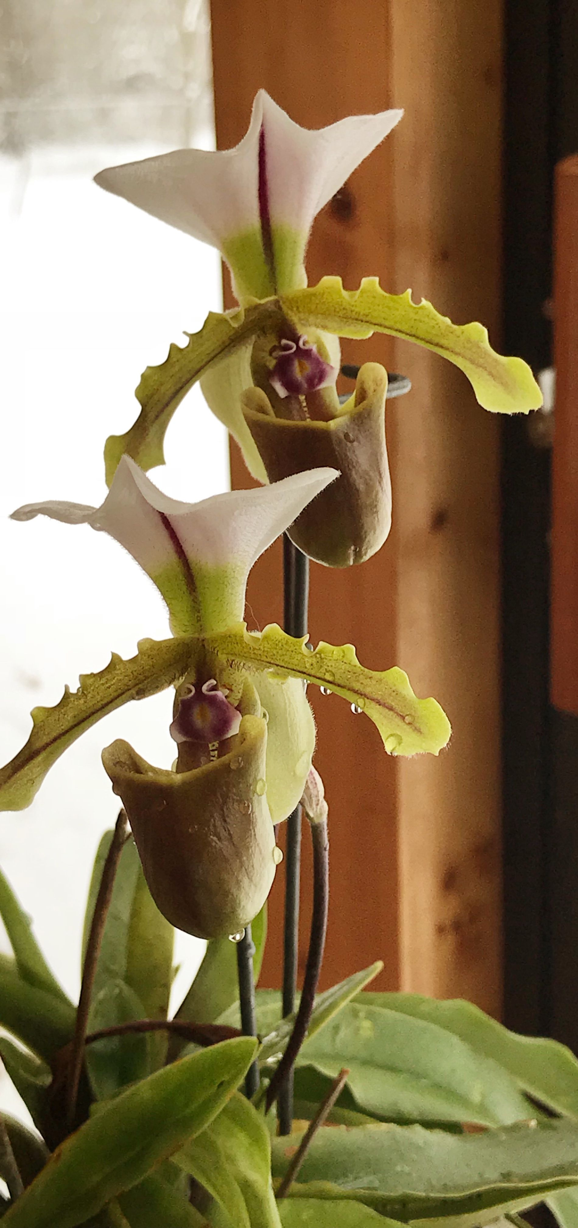 Pin by gale panek on my favorite orchids pinterest orchid
