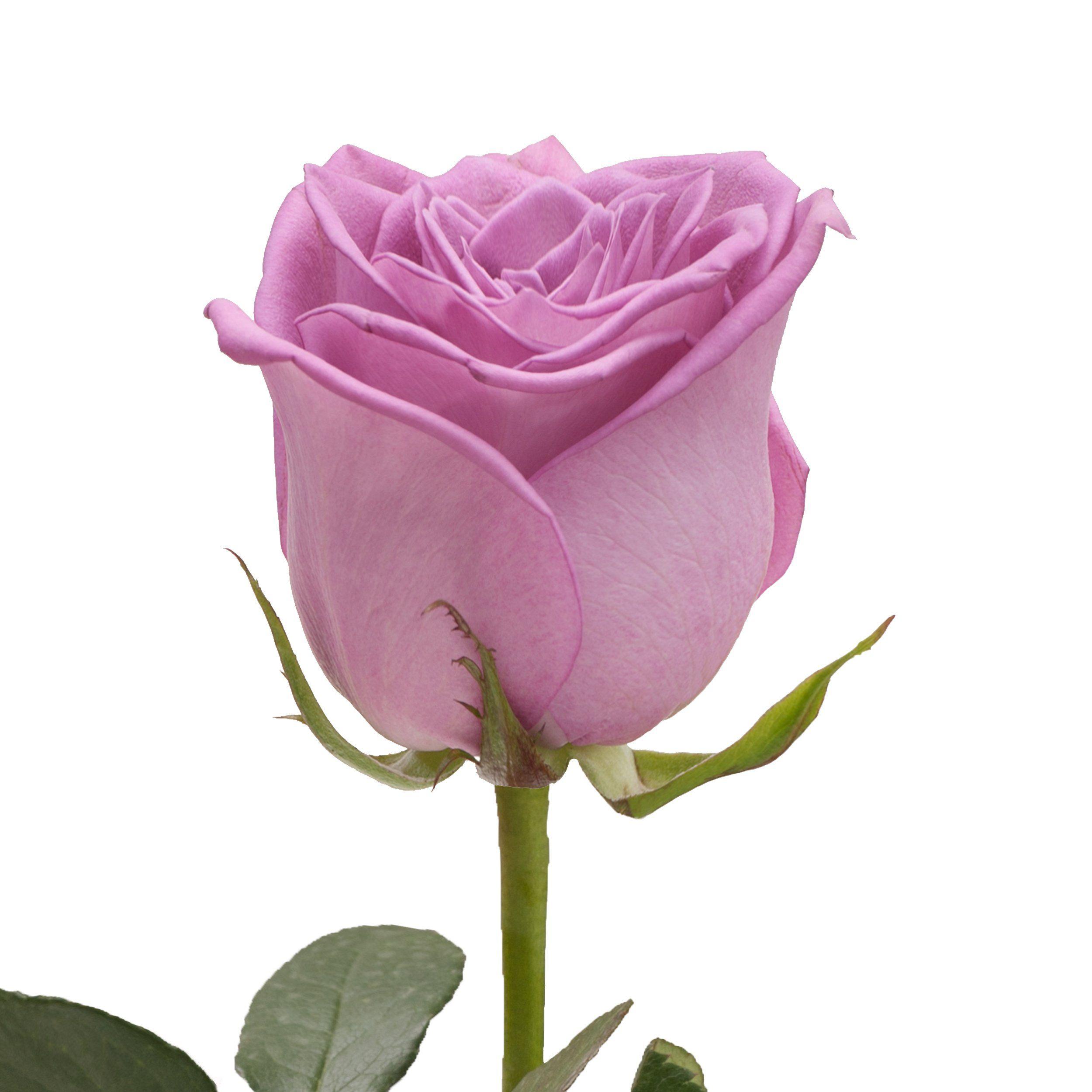 Lavender Premium Roses Premium Wholesale Flowers Free Shipping Lavender Roses Rose Wholesale Flowers
