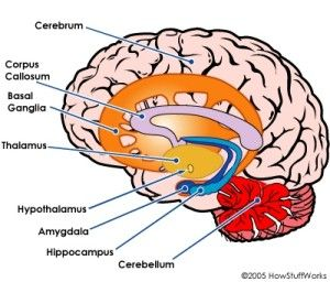 The limbic system and basal ganglia tdcs by c c pinterest the limbic system and basal ganglia ccuart Gallery