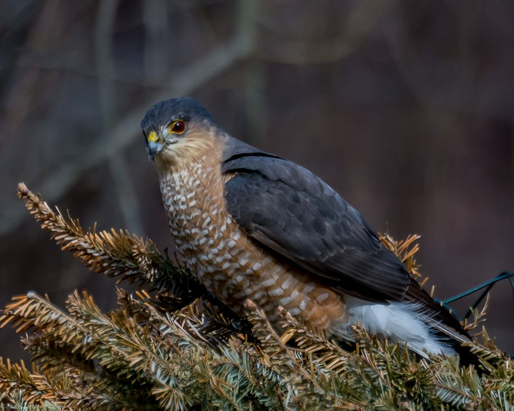 Humbug Explored Sharp Shinned Hawk Animal Photography Valley Park