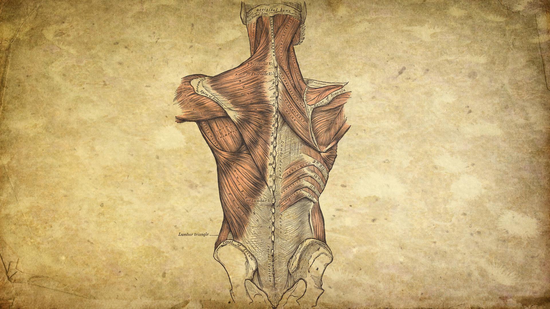 Human Anatomy Wallpapers High Quality Human Anatomy Anatomy Human Anatomy Chart