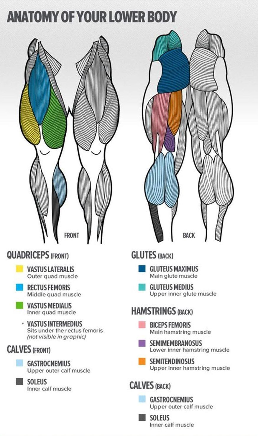 Lower Body Anatomy Gym Plan Pinterest Muscle Anatomy Leg