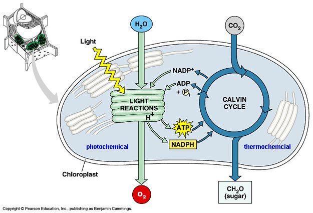 Photosynthesis light dependent and independent reactions biology photosynthesis light dependent and independent reactions ccuart Image collections