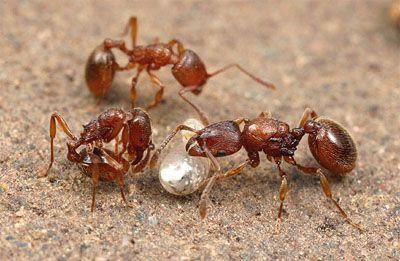 Pin Na Ant