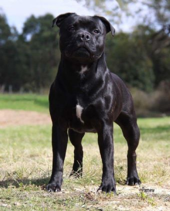 Australian Supreme Ch Bustabones An Reice Gaelach Pure Breed Dogs English Staffordshire Bull Terrier Staffordshire Bull Terrier