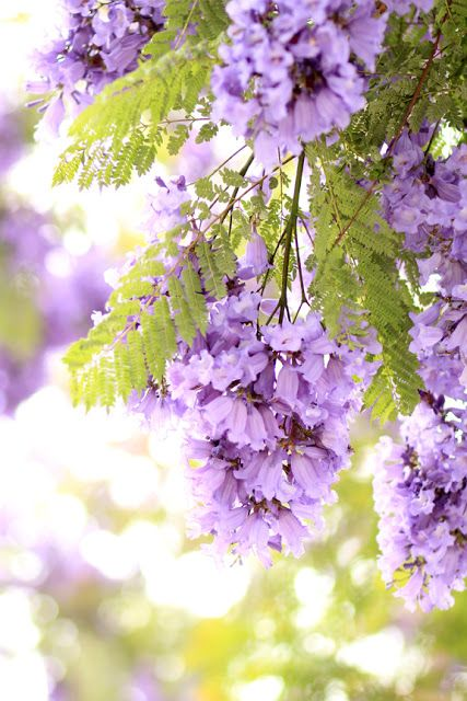 Friday Flower Pick Jacaranda Trees Purple Flowering Tree Flower Landscape Flowering Trees