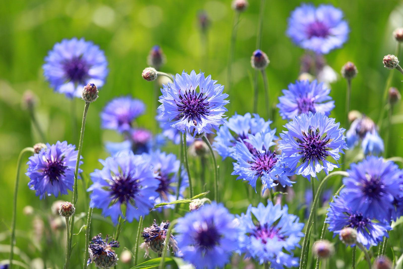 Growing Bachelor Buttons Tips About The Care Of Bachelor Button Plants In 2020 Bachelor Button Flowers Bachelor Buttons Plants