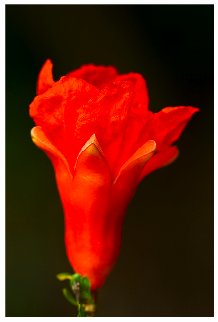 Pomegranate Blossom (Punica Granatum)- mature elegance