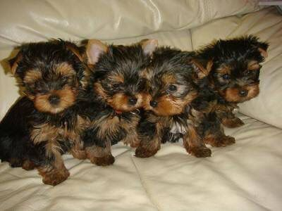 Pin by Smith on Furry Babies Teacup yorkie puppy