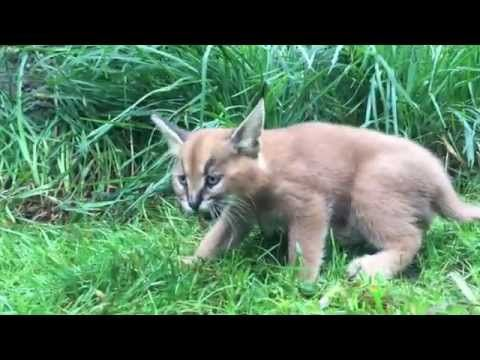 6 Week Old Caracal Kittens Venture Outside With Mom Caracal Kittens Caracal Pretty Cats