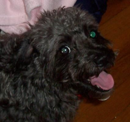 Schnoodle Rescue Lovetoknow Schnoodle Rescue Schnoodle Schnauzer Grooming