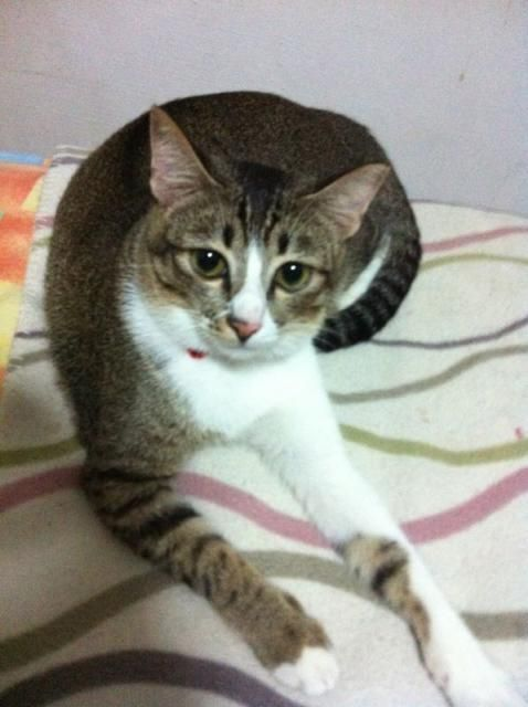 Tabby With White Belly Missing Grey White Female Tabby Cat At