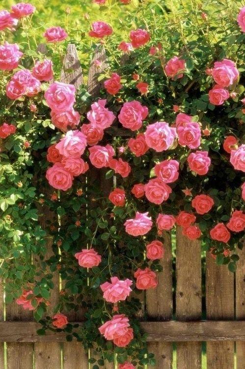 Flowersgardenlove Gorgeous Pink Flowers Garden Climbing Roses Beautiful Flowers Flower Seeds