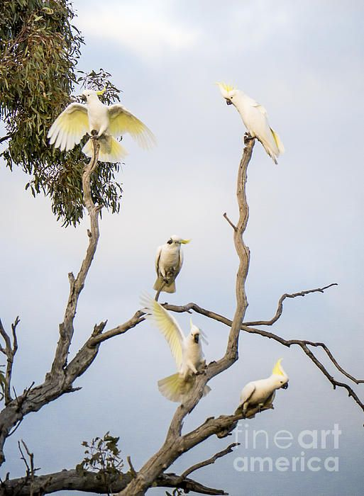 #cockatoos in #canberra